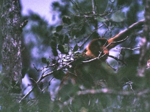 Nasenaffe im Mangrovenwald