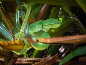 Grüne Tempelotter