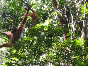Orang Utans im Semenggoh Wildlife Recreation Center