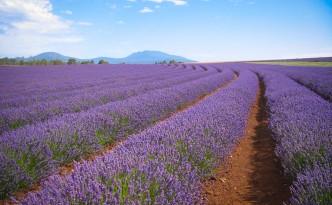 Lavendelfarm