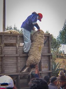 Schafsverladung