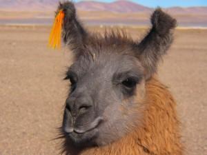 Andenüberquerung mit Lama