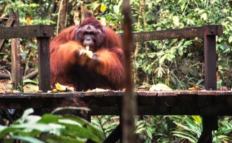 Orang Utan George war der Star im Semenggoh Wildlife Recreation Center